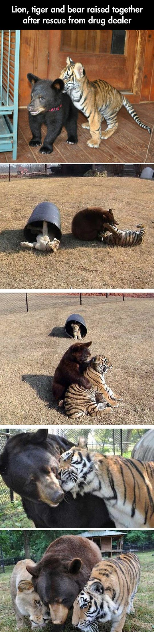 Because while some people are assholes, most are not, and animals tend to have more love than most humans. So glad to see a happy ending for these animals.: Drug Dealer, Animals, Bears Oh, Best Friends, Tigers Bears, Bear Raised, Tiger Bear