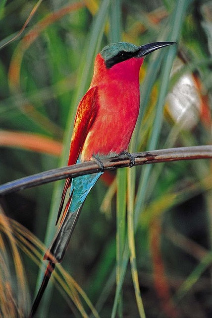 Carmine Bee Eater, South Africa by Sabi Sabi Private Game Reserve, via Flickr.: Carmine Bee Eater, Bees, South Africa, Beautiful Birds, Animal