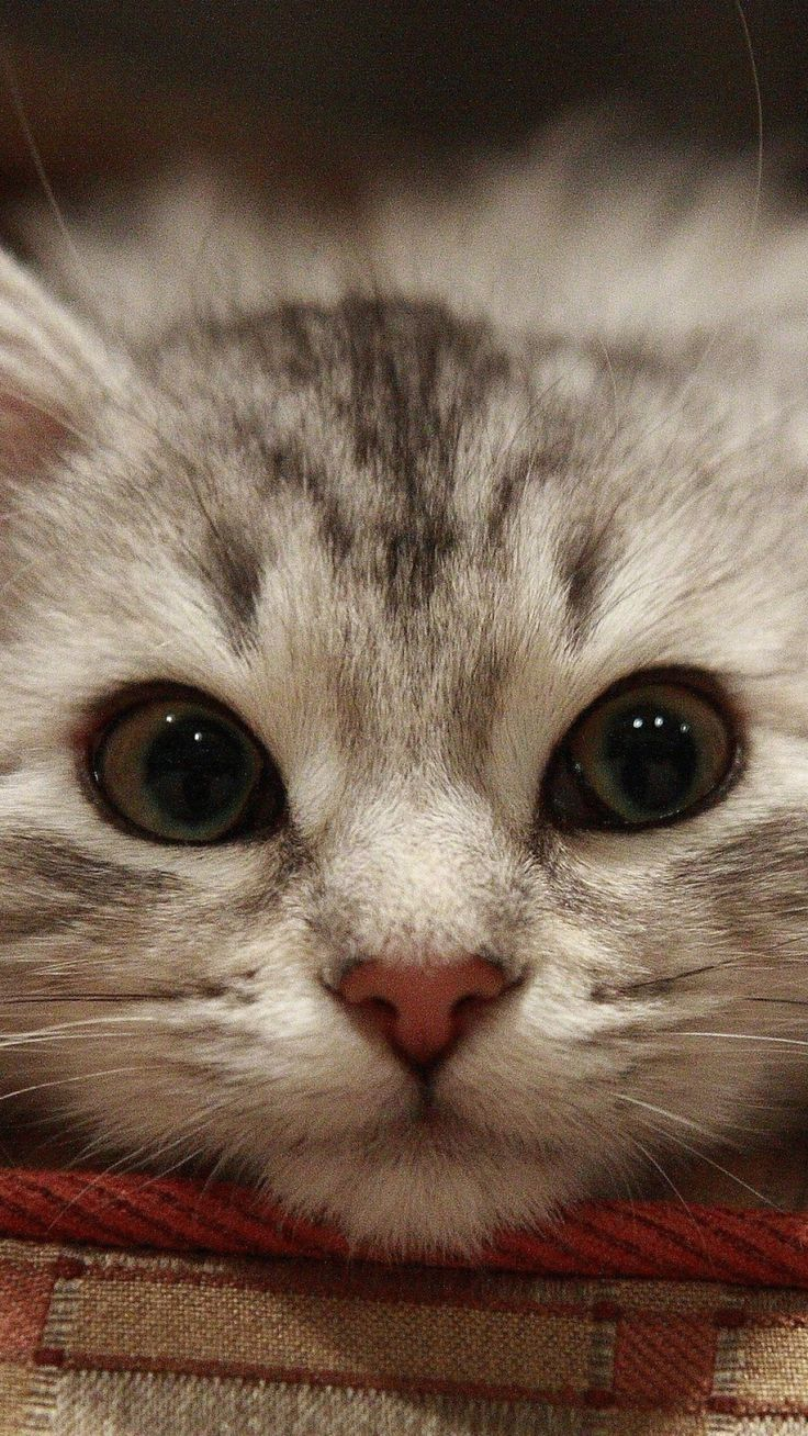 cute kitten: Cats, Kitty Cats, Animals, Beautiful Cats, Pet, Kitty Kitty, Adorable Kitten, Kittens, Kitty Face
