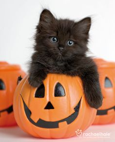 Halloween kitty / Kitten inside a pumpkin / / Autumn / Fall / /  - - Your Local 14 day Weather FREE > http://www.weathertrends360.com/Dashboard  No Ads or Apps or Hidden Costs: Cats, Holiday, Kitten, Animals, Pumpkins, Funny, Kitty, Peek A Boo, Happy H
