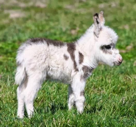 Here's a miniature donkey .. precious - Cute animals world: Baby Donkey, Pet, Horse, Mini Donkey, Donkeys, Things, Baby Animals
