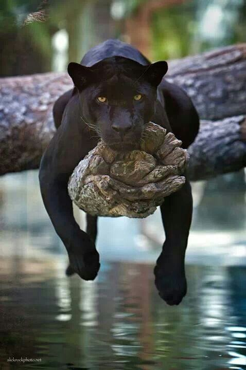 I could do this all day.: Black Panther, Wild, Animals, Big Cats, Creature, Black Jaguar, Bigcats, Beautiful, Panthers