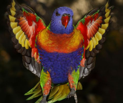 Rainbow Lorikeet - how can you look at this bird and believe in evolution?  Clearly, our Creator was at work and made this beautiful bird!: Rainbowlorikeet, Birds Parrots, Rainbows, Amazing Color, Beautiful Birds, Animals Birds