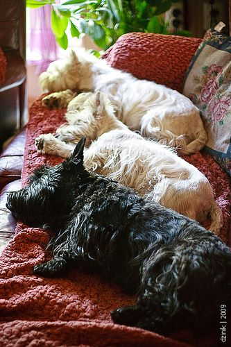 Snoozing Scotties on a lazy Sunday afternoon, love it.  Nothing cuter than  a sleeping Scottie: Animals, Scottie Dogs, Lazy Scottish, Westies, Puppy, Friend, Scottish Terriers
