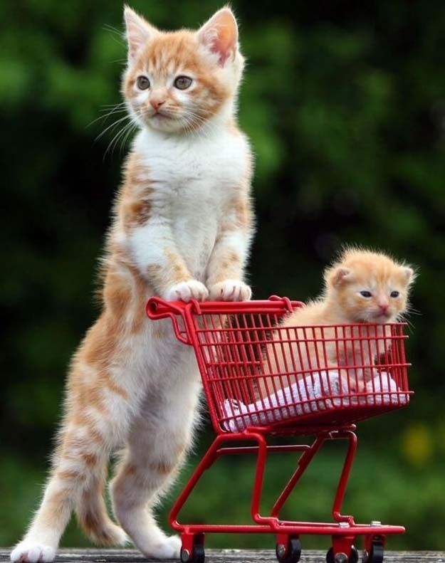 This orphaned kitten loves to push his stepbrother around in a tiny, kitten-sized shopping cart.: Cats, Kitty Cat, Pets, Funny, Kittens, Baby Animals