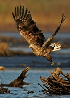 White Tailed Sea Eagle Set Free | by Steve | Flickr - Photo Sharing!: Animals, Nature, Art, Prey, Beautiful Birds, Eagles, Photo