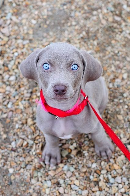 10 Dog Breeds That Are Only For Experienced Dog Owners: Blue Eye Dog, Cute Puppies, Beautiful Eyes, Blue Eyes, Weimaraner Puppies, Animal