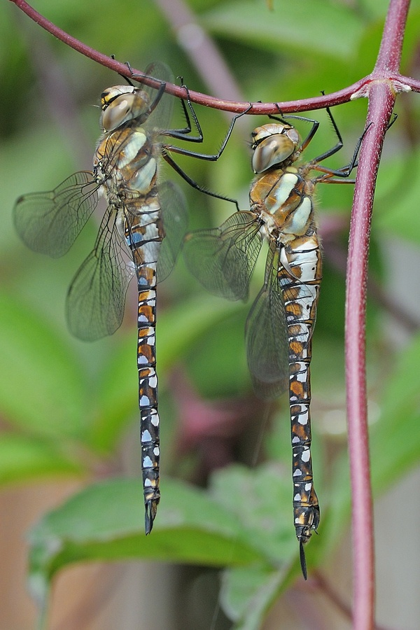 2 hawkers by Bertus van Rooijen, via 500px: Dragonflies Damselflies, Butterflies Dragonflies, Dragon Flies, Dragonflies Butterflies, Insects Dragonfly, Butterflies Insects, Dragonflies Hanging, Double Dragonflies, Dragonflies My