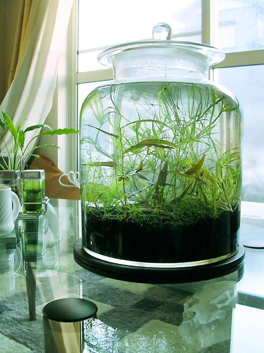 a gorgeous way to grow plants that arent very demanding! would look great with some shrimp stocked!: Aquarium Plants, Fish Aquarium, Shrimp Stocked, Aquatic Plants, Grow Plants, Terrarium, Water Garden