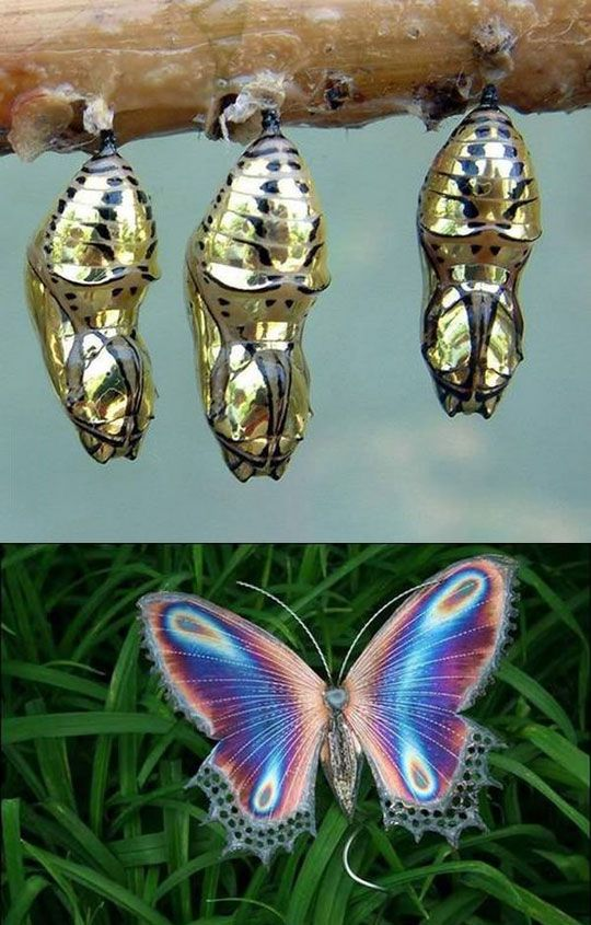 Amazing Golden Cocoon Butterfly: Beautiful Butterflies, Animals, Golden Cocoon, Amazing Golden, Cocoon Butterfly