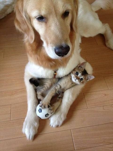 animals kittens dogs baby animals cute animals golden retriever cats and dogs playful animals: Cats, Animals, Kitten, Dogs, Friends, Sweet, Pets, Funny, Adorable
