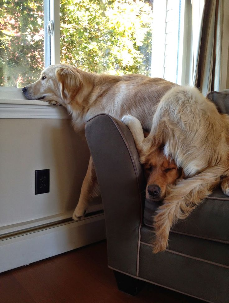 Are you comfortable down there? Haha, never even saw the other dog! Poor puppy ♥♥♥: Doggie, Funny Golden Retriever, Animals, Funny Dogs, Golden Retrievers, Cute Dogs, Golden Retriever