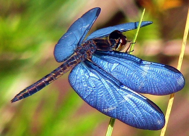 blue dragonfly. beautiful! I have one tattooed on my ankle...love: Blue Dragonfly, Dragon Flies, Bugs, Butterflies, Beautiful, Dragonflies, Animal