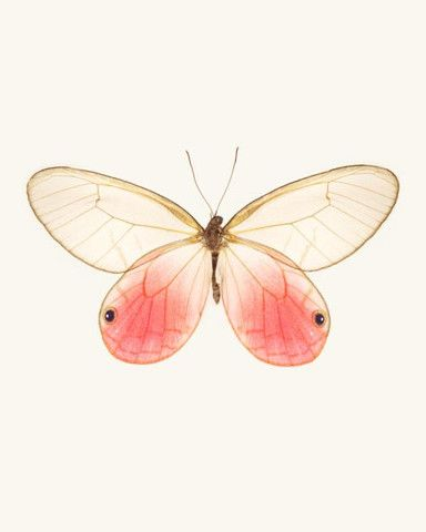 Cithaerias Aurorina / Pink Glasswing Butterfly.  Fine Art  Print by Allison Trentelman | rockytopstudio.com: Pink Butterfly, Butterflies, Insect Art, Pink Glasswing, Fine Art, Butterfly Photo, 8X10 Fine