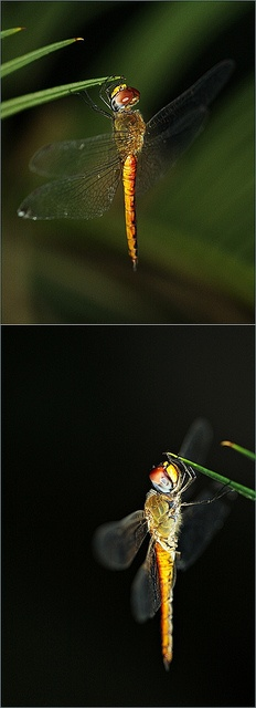 Dragon flies randomly show up on my pinterest the day I can't stop thinking about you..... I love you.: Dragonflies Photography, Dragon Flies, Dragonfly Photography, Butterfly S Dragonflys, Dragonfly Tattoo, Dragon Fly Tattoo, Dragonfly Damselfly, Dra