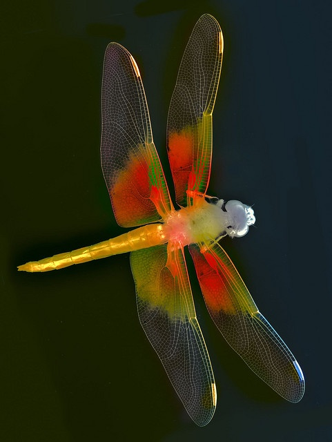 Dragon Fly ... You like these guys? I would think you do! Kisses and miss you baby.. Good night.. Enough Pinterest for tonight: Dragon Flies, Color, Dragon-Fly, Photo, Animal, Dragonflies