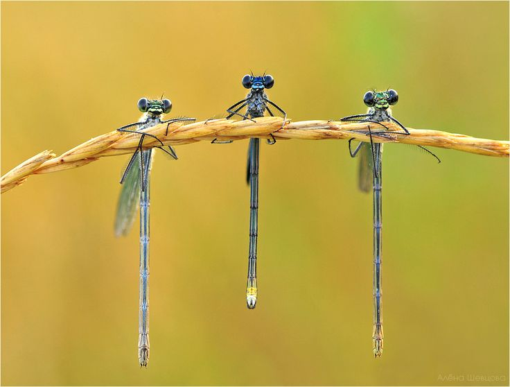 dragonflies just hanging out: Animals, Nature, Bugs, Butterflies, Creature, Insects, Photo, Dragonflies