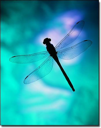 Dragonfly Silhouette, fine art abstract photograph by M E Miller  ticknthistle.com: Dragon Flies, Blue, Color, Art, Things, Animal, Dragonflies