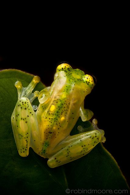 Glass frog, Hyalinobatrachium ruedai: Frogs Frogs, Animals Frogs, Glasses, Animal Photography