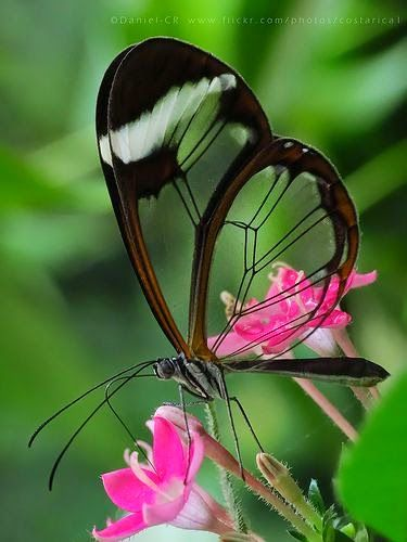 Glasswinged Butterfly Simply Incredible.: Beautiful Butterflies, Glass Winged Butterfly, Glasswinged Butterfly, Butterfly Greta, Flutterby, Animal