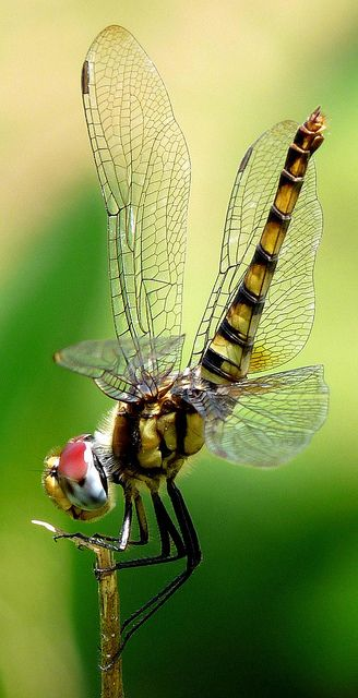 Greater Crimson Glider--Jesus was never rude, never needlessly spoke a severe  word, never gave needless pain to a sensitive soul. -: Butterflies Dragonflies, Dragonflies Butterflies, Dragonfly S, Dragonfly Yusufçuk, Glider Dragonfly, Crimson Glider, Drag