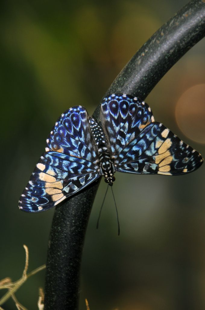 I couldn't identify this butterfly but I did find that the photograph was taken at the Amsterdam Zoo.: Butterflies Dragonflies, Beautiful Butterflies, Butterfly, Animals, Butterfly, Flutter