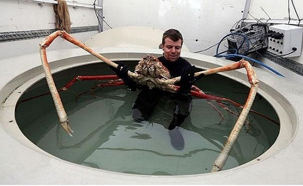Japanese spider crab: Animals, Sea Life, Spidercrab, Spiders, Japanese Spider, Giant Japanese, Crabs, Big Daddy