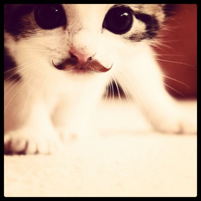 Kittenstache I have had this as my phone background for months and i still haven't found something cute enough to replace it.: Cats, Mustache Cat, Kitty Cat, Animals, Moustache, Funny, Adorable, Things, Kittens