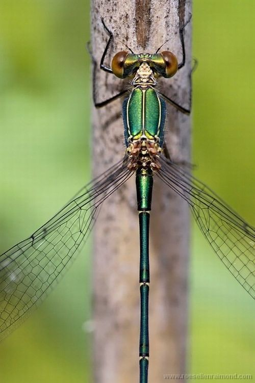 Macro Photography of Insects: Macro Nature Photography, Beautiful Animals Photography, Animal Photography, Macro Photography Animals, Nature Macro Photography, Macro Photography Nature, Macro Photography Insects, Dragonfly, Dragonflies