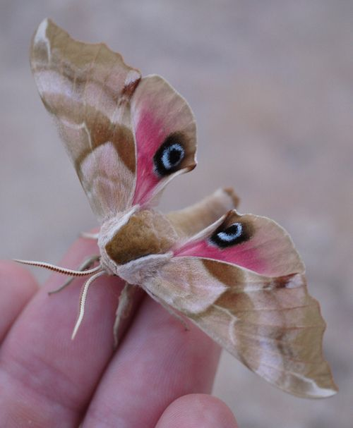 Moth: Beautiful Butterflies, Smerinthus Cerisyi, Animals, Nature, Sphinx Moth, Beautiful Moth