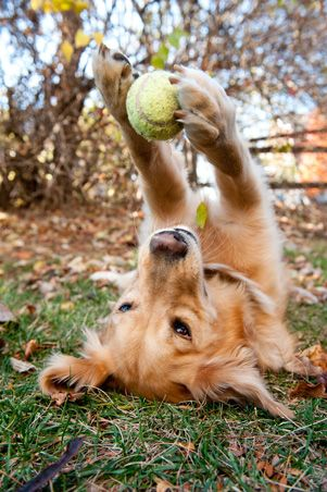 My Shadow did this all the time - he'd spread his paws apart so it would drop then catch it in his mouth!!  over and over and over...  :oD: Dogs, Golden Retrievers, Pet, Tennis Ball, Animal