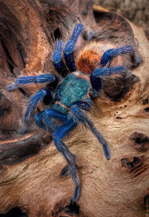 never thought a spider could be ...well....pretty and I still don't this so, BUT the blue is pretty: Greenbottle Blue, Animals, Spiders, Beautiful, Green Bottle, Blue Tarantula