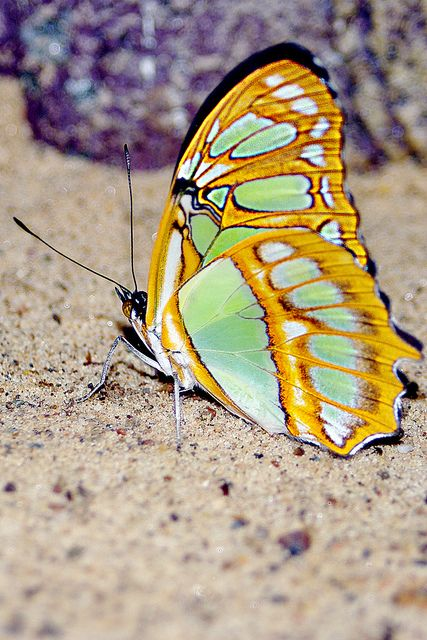 Newly emerged butterfly drying her wings.: Butterflies, Beautiful Color, Butterfly Wings, Animal