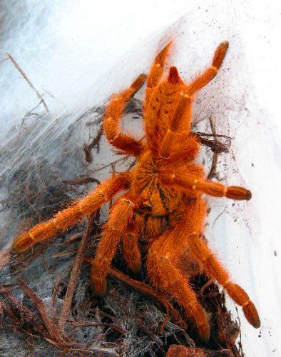 ✿ Orange Baboon Tarantula or Mombasa Gold Starburst Tarantula ~ Pterinochilus murinus ✿: Animals Bugs Spiders, Insects Spiders, Orange Baboon, Free Photo, Tarantula Spider, Orange Bitey, Spiders Tarantulas, Search Engine