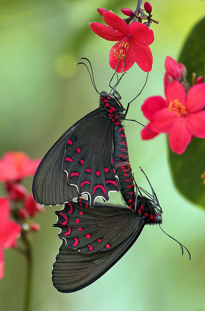 Parides Photinus Butterflies Mating on Peregrina flowers.: Butterfly, Fairchild Tropical, Peregrina Flowers, Photo