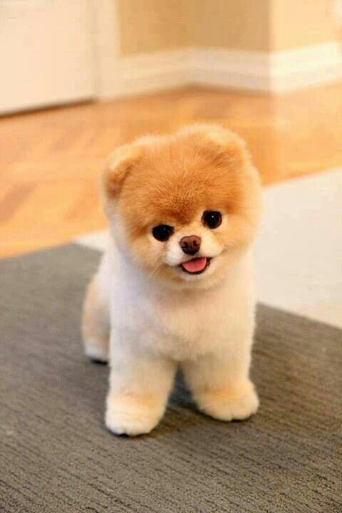 Puppy!  At Orchard Lake Pet Resort we strive to provide the best overnight care and grooming services for our canine clients!  Call (248) 372-7000 or visit our website www.orchardlakepetresort.com for more information about the services we provide!: Anima