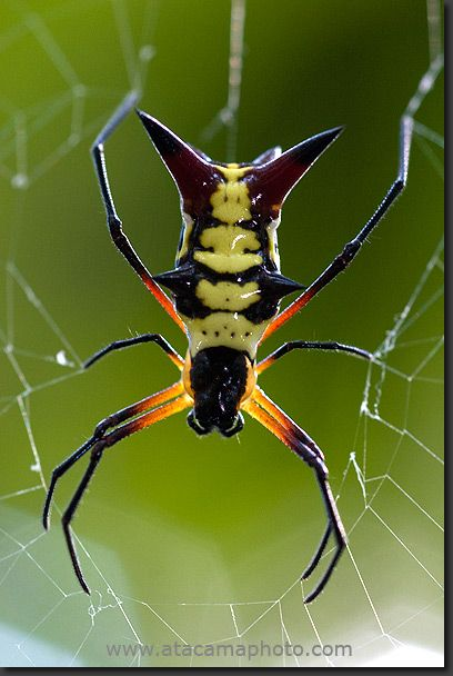 Spider from the Micrathena family, Madidi National Park, Bolivia: Animals, Insects Spiders, Scary Spiders, Insects Bugs, Photo Spiders, Arachnid, Bugs Spiders, National Parks, Sagittata Spiders
