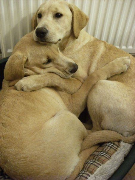 The story behind this is that they huddled during a thunderstorm. So sweet!: Sister, Animals, Dogs, Sweet, Pet, Labrador, Friend