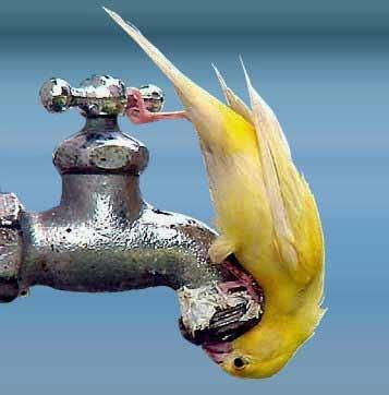 thirsty birdy-this is so fascinating and cute. We have dripper at the bird bath where the birds do this. Love to watch the birds.....: Water, Animals, Creature, Beautiful Birds, Yellow, Photo