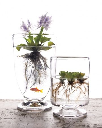 What's so cool about water gardens with water-plants is that you can have gold fish that feed off of the roots of the plant.: Green Thumb, Container Garden, Water Gardens, Indoor Garden, Indoor Water Garden, Watergarden