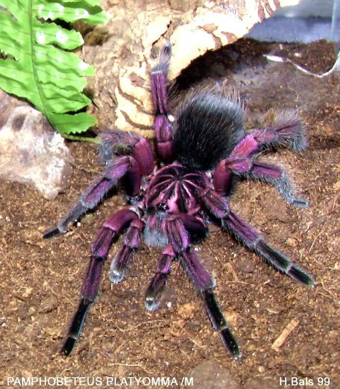 What a Beauty. I Own a Chilean rose but this one may be one of the wild ones.: Brazilian Pinkbloom, Animals Bugs Spiders, Trantula Spiders, Spiders Arachnids, Beautiful Color, Awesome Purple, Purple Tarantula, Pinkbloom Tarantula