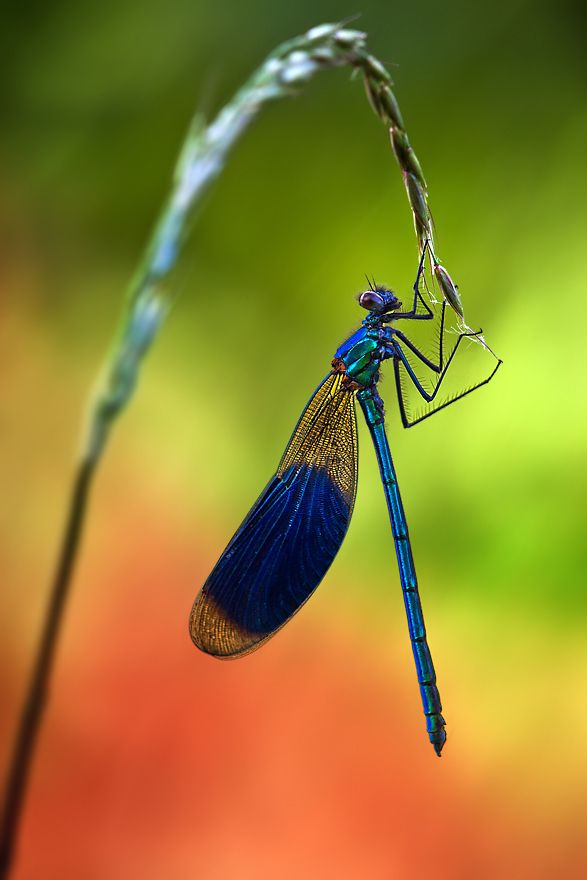 Wonderful damselfly image by Ondrej Pakan.: Artists, Beautiful, Ondrej Feed, Dragon-Fly, Insects, Dragonfly, Photo, Dragonflies, 500Px With