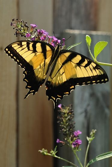 Yellow Tiger Swallowtail on Purple Buddleia Blossoms (Butterfly Bush): Beautiful Butterflies, Purple Buddleia, Swallowtail Butterfly