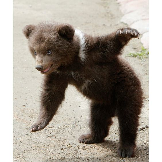 Baby bear, what balance! You're so cute, I can't believe you exist!: Three Month, Animal Kingdom, Creatures, Bow, Baby Animals, Brown Bears, Bear Cubs, Baby Bears
