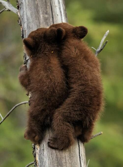 bear cubs   - Explore the World with Travel Nerd Nici, one Country at a Time. http://TravelNerdNici.com: Tree, Black Bears, Wildlife, Bearcubs, Baby Animals, Brown Bears, Baby Bears, Bear Cubs