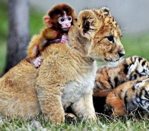 I love this. There is something awesome to see animals coexisting, caring for each other: Babies, Animals, Friends, Tiger Cubs, Baby Animal, Baby Monkeys, Tigers, Photo, Lion Cubs