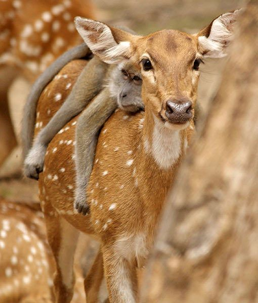 long-tailed macaque lazing on a chital deer friends in Malaysia: Animals, Nature, Creatures, Odd Couple, Animal Friends, Photo, Monkey, Deer