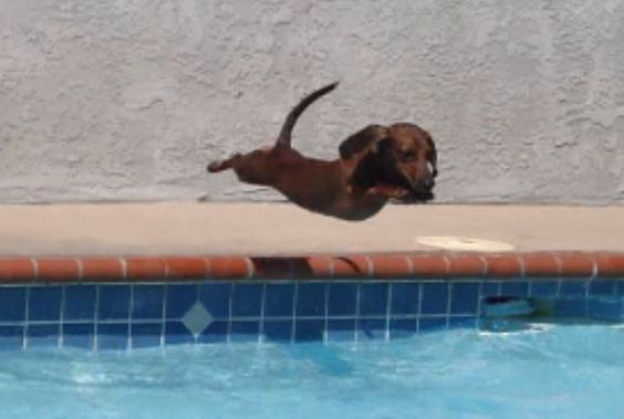 Super weenie! Doesn't get much cuter than this :)   ...........click here to find out more     http://googydog.com: Animals, Weenie Dog, Diving Dachshund, Doxies, Super Weenie, Wiener Dogs