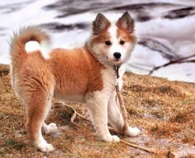 """Known as the """"dog of the Vikings,"""" the Icelandic Sheepdog is considered one of the oldest breeds in the world, and is Iceland's only native dog. AKC recognized in 2010, the dog is an official member of the Herding Group.: Doggie, Herding Dogs, Iceland"""