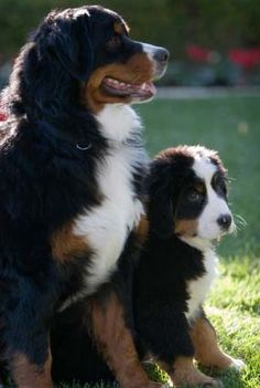 Bernese Mountain Dog.  The adorable kind of dog you just want to bury your face into the fur of and bear hug!